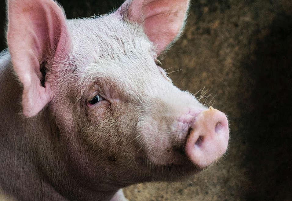 Nourrir les cochons à la graine de lin : un intérêt ?